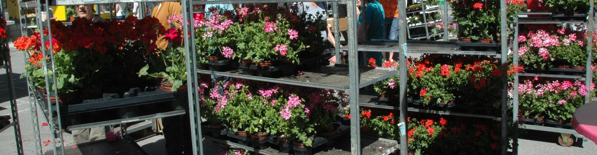 Vente de géraniums à prix spécial pour les Loclois